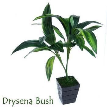 Green Drysena Plant